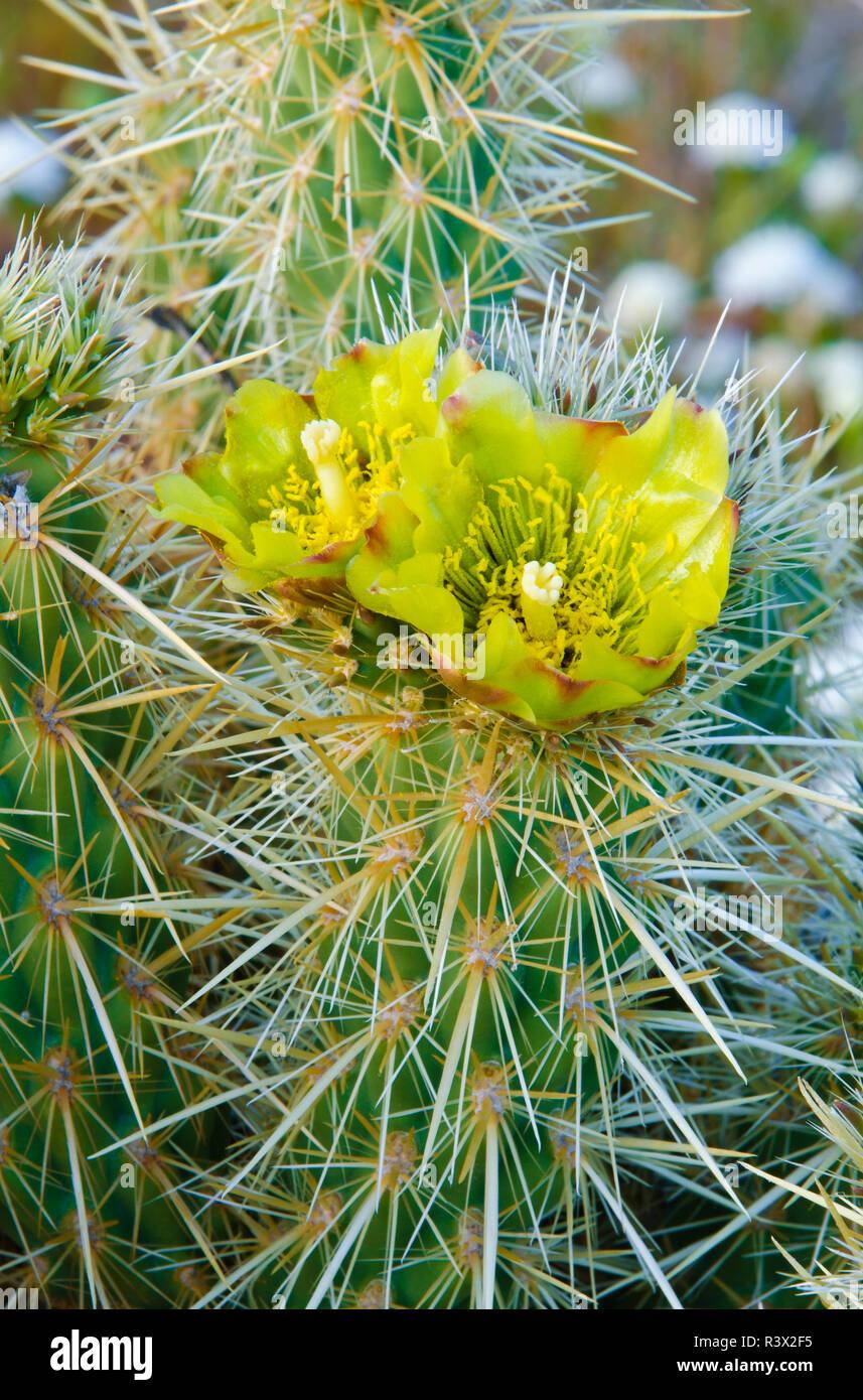 Buckhorn Cholla flower (Cylindropuntia acanthocarpa), Anza-Borrego Desert State Park, California, USA Stock Photo