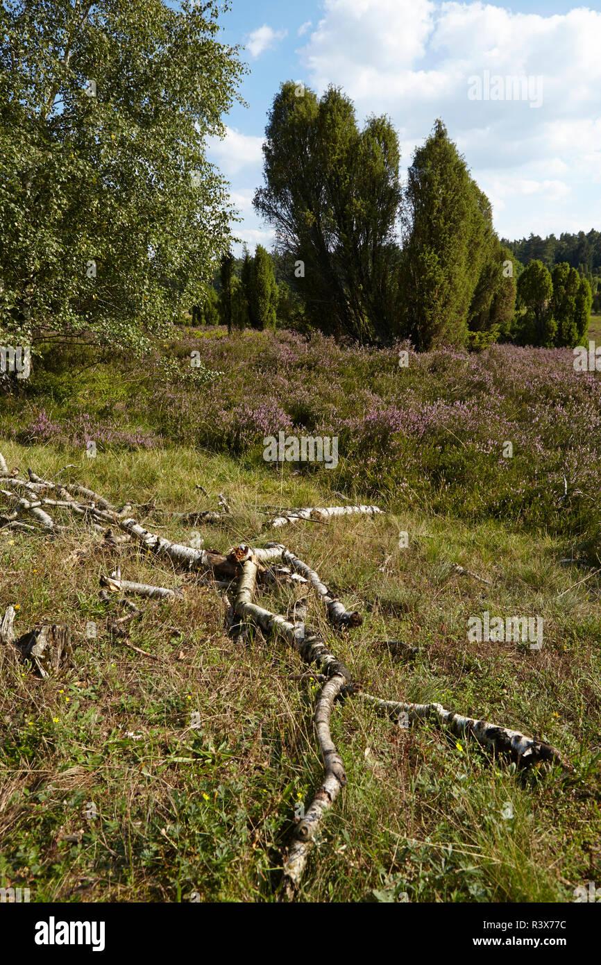 Luneburg Heath - Rotten brunches and heath near Egestorf - Stock Image