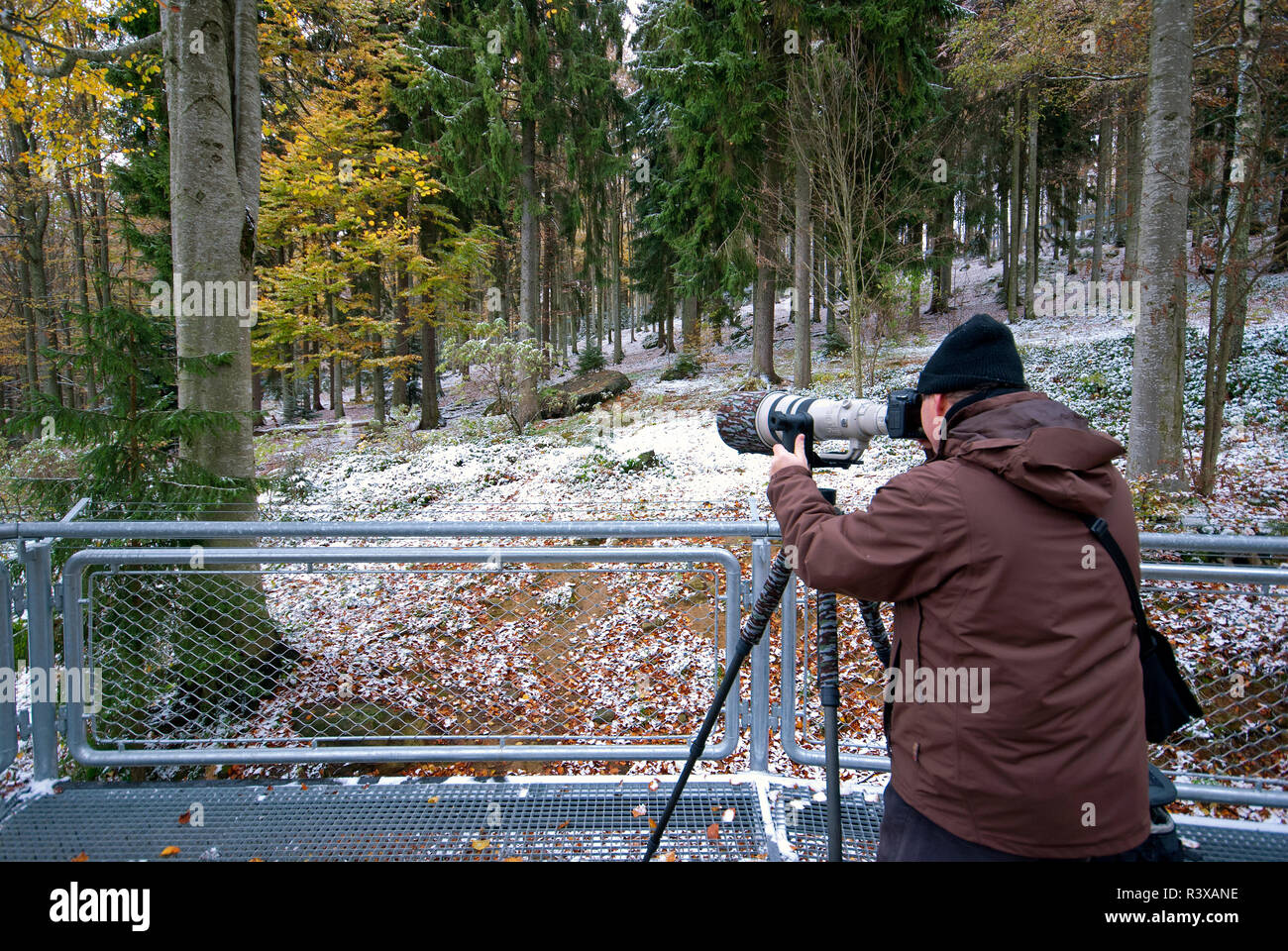 Nature photographer in wolf area, Bavarian Forest National Park,  Bayerischer Wald, Bavaria, Germany Stock Photo