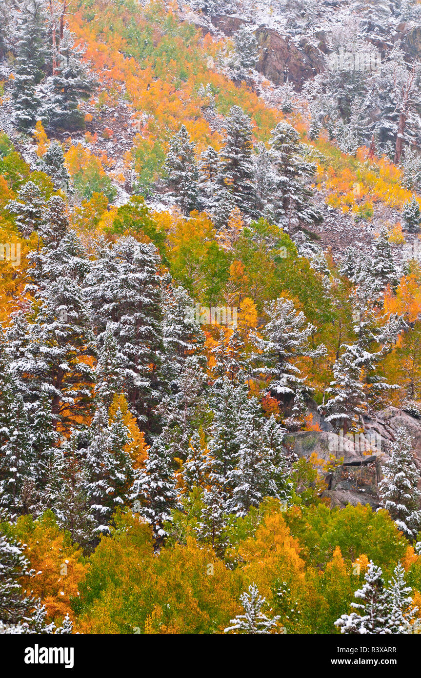 Fresh snow on fall aspens and pines along Bishop Creek, Inyo National Forest, Sierra Nevada Mountains, California, USA - Stock Image