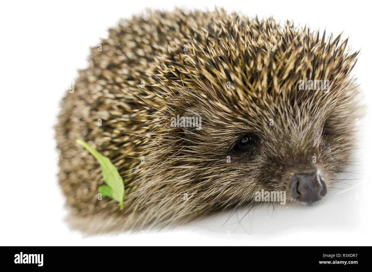 Hedgehog with green leaf on its quills. Isolated over white. - Stock Image