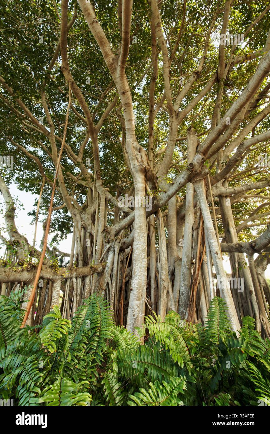 81e41bde6c6 Banyan Tree Florida Stock Photos   Banyan Tree Florida Stock Images ...