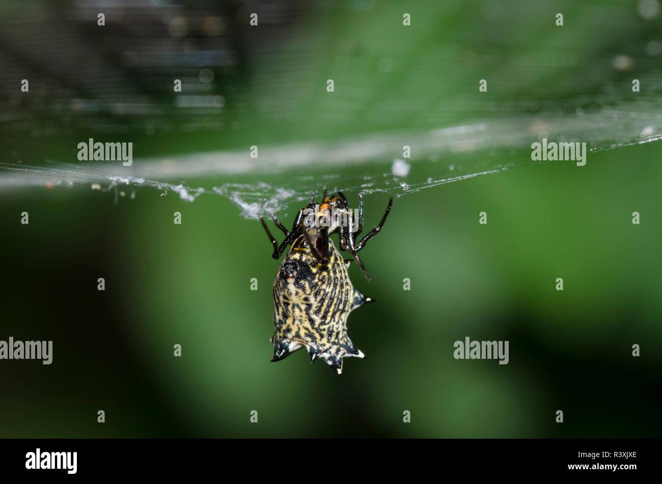 Spined Micrathena, Micrathena gracilis, hanging in horizontal orb web - Stock Image