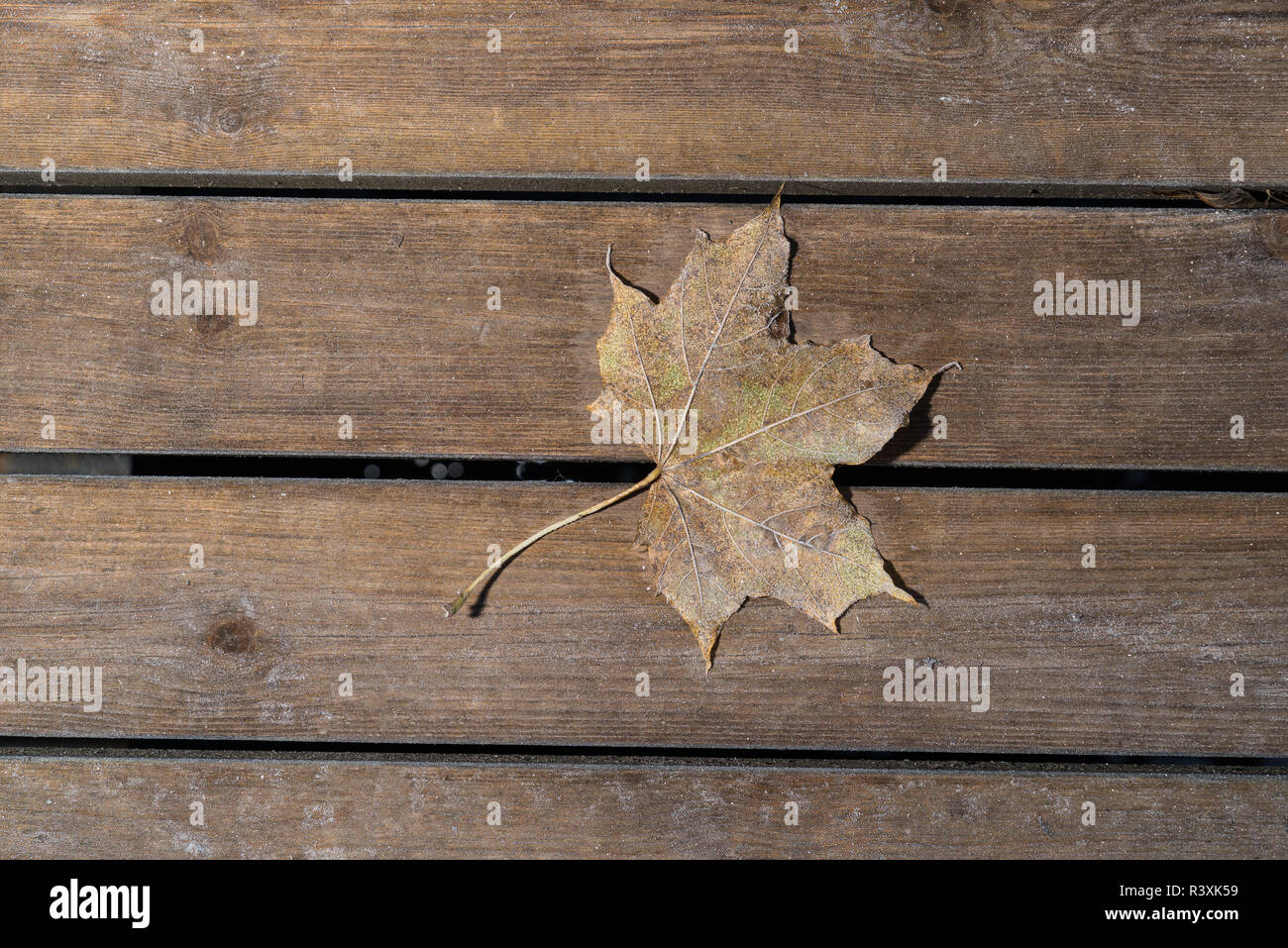 Colored maple leaves. Frosty brown autumn leaves on wooden background - Stock Image