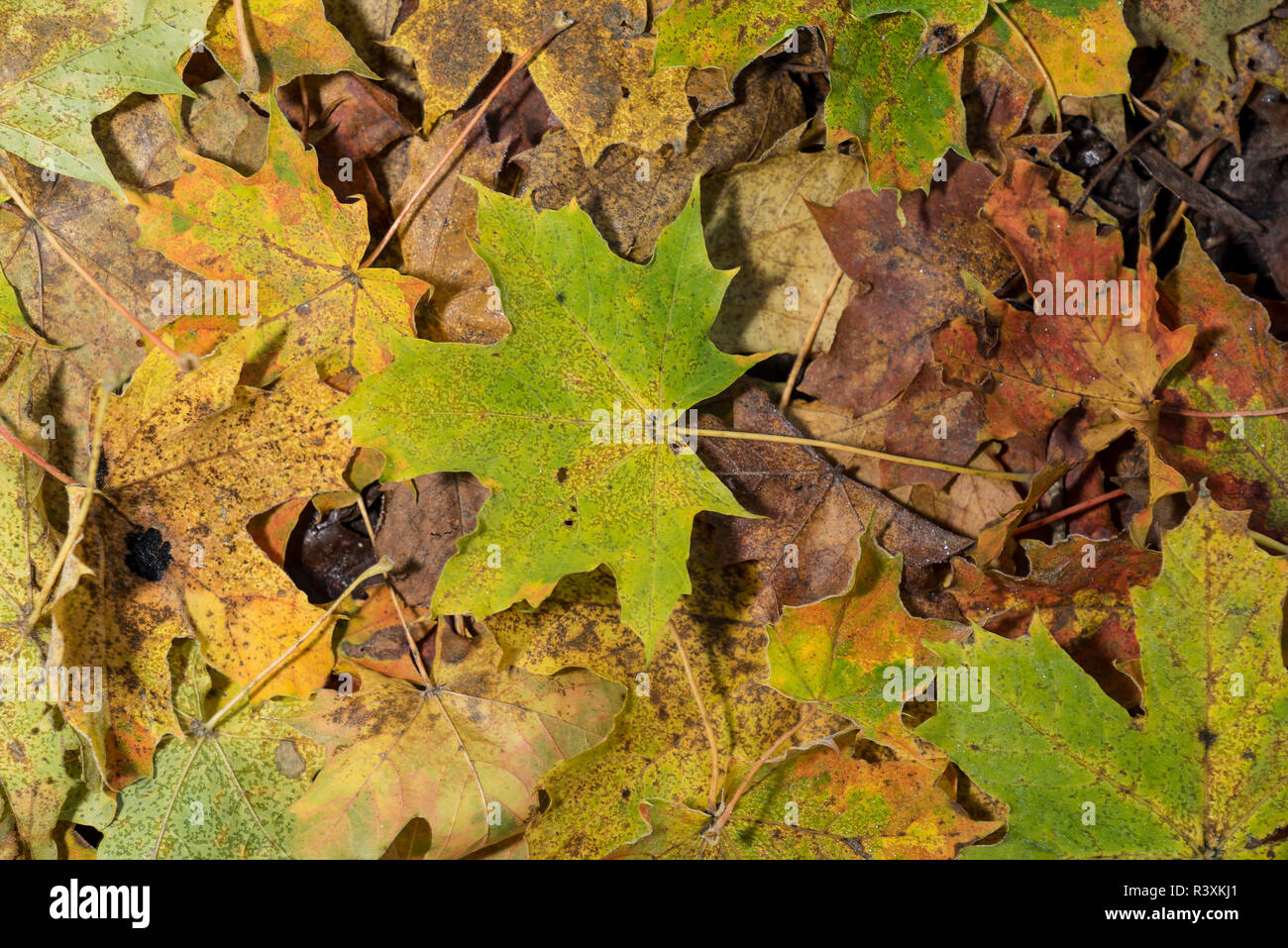 Colored maple leaves. Frosty Yellow autumn leaves. Natural environment  background - Stock Image