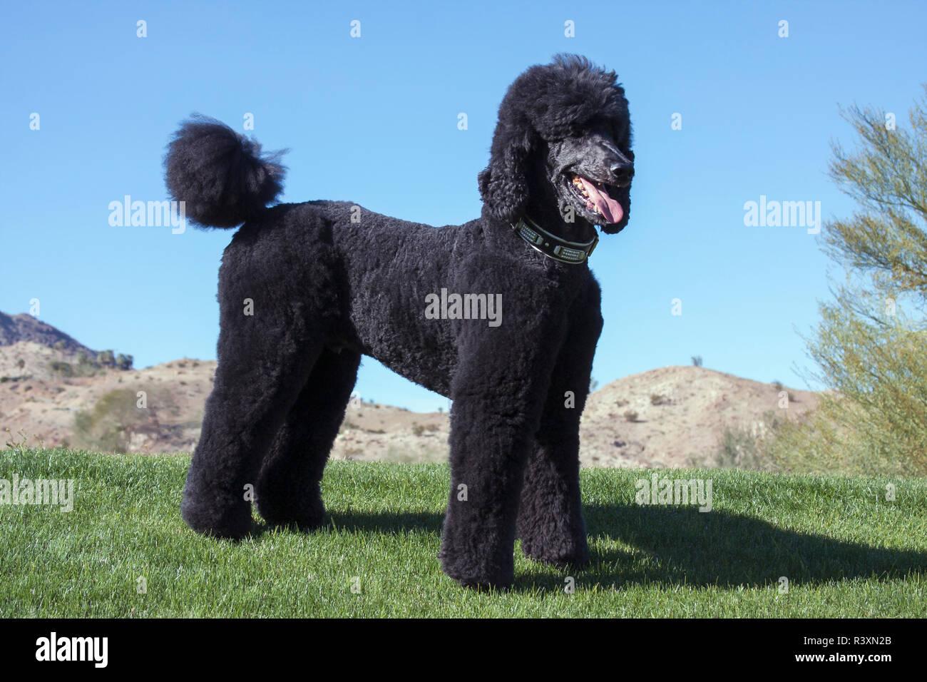 Black Standard Poodle Stock Photos & Black Standard Poodle
