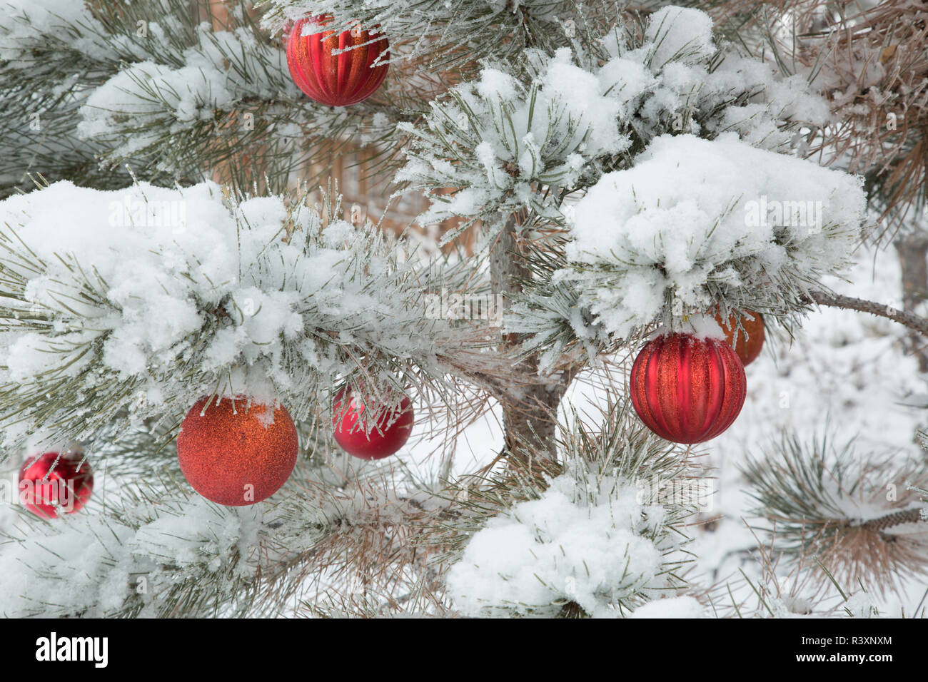 USA, Colorado, Woodland Park. Fresh snow and red ornaments on tree. Credit as: Don Grall / Jaynes Gallery / DanitaDelimont. com - Stock Image