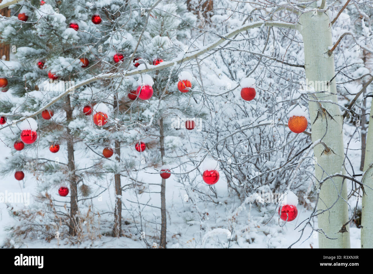 USA, Colorado, Woodland Park. Fresh snow and red ornaments on trees. Credit as: Don Grall / Jaynes Gallery / DanitaDelimont. com - Stock Image