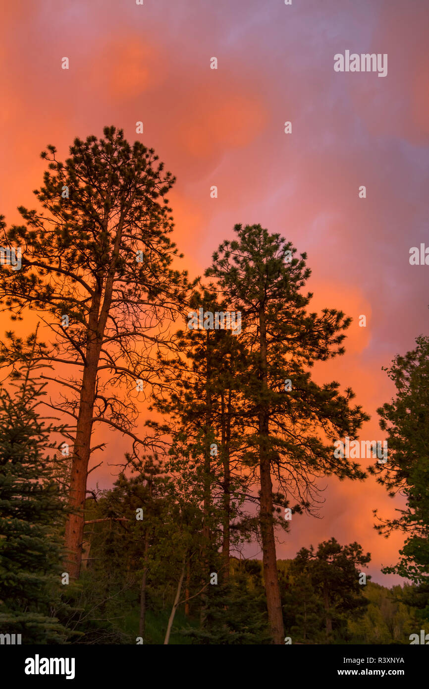USA, Colorado, Woodland Park. Fiery sunset and Ponderosa pine trees. Credit as: Don Grall / Jaynes Gallery / DanitaDelimont. com - Stock Image