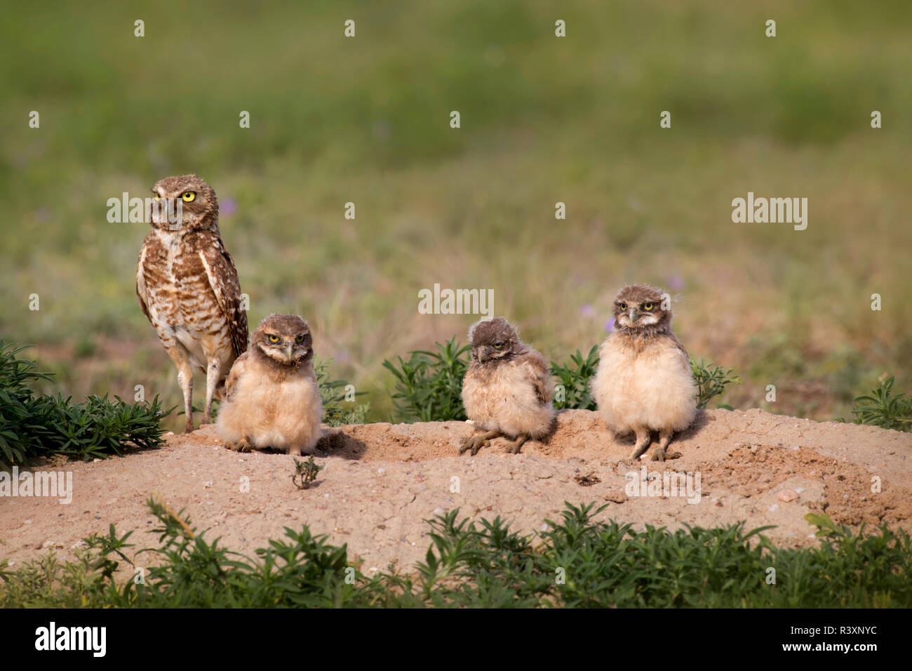 USA, Colorado, Pawnee National Grasslands. Burrowing owl female with three owlets. Credit as: Don Grall / Jaynes Gallery / DanitaDelimont. com - Stock Image