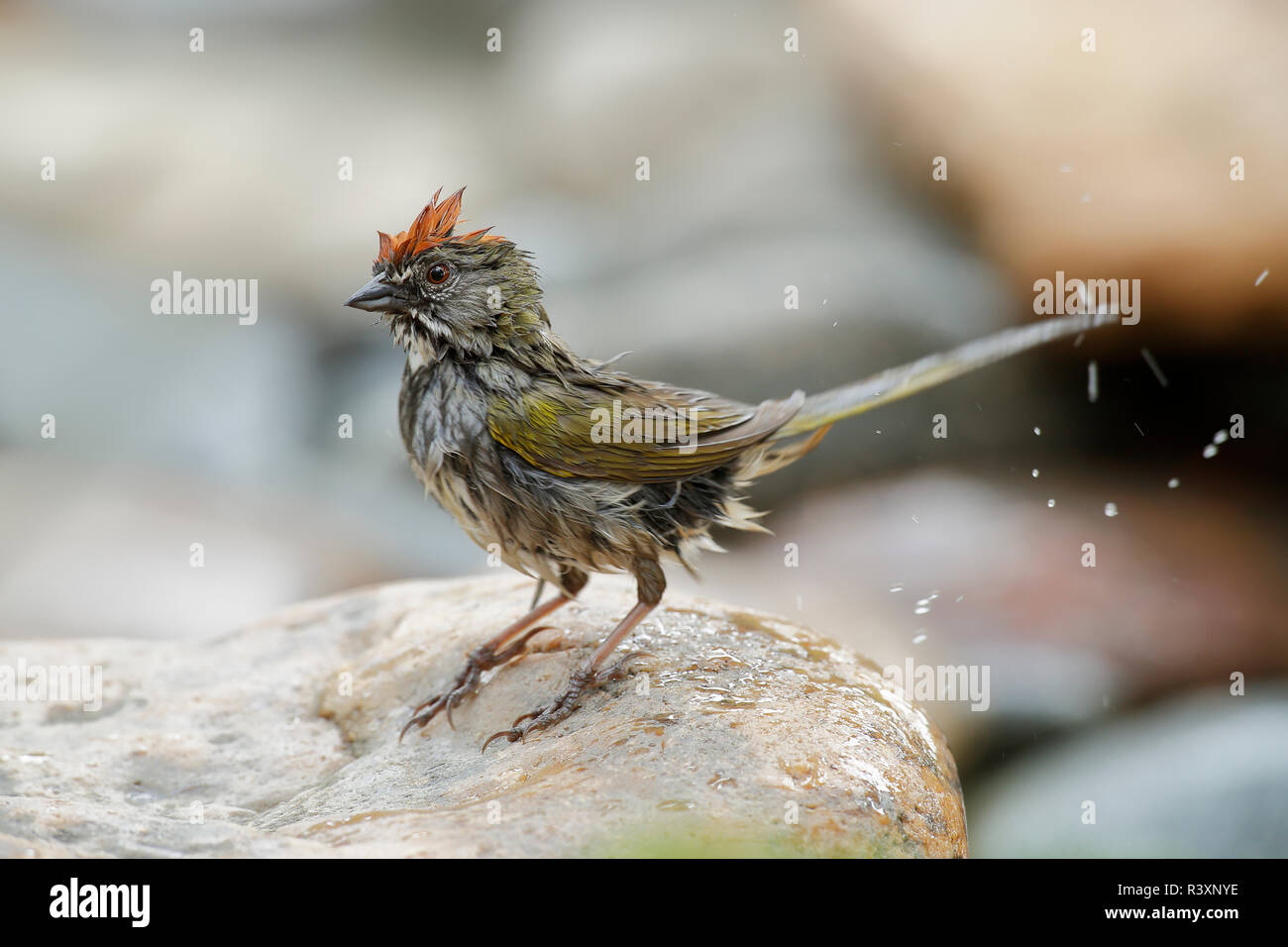 USA, Colorado, Woodland Park. Wet green-tailed towhee after bathing. Credit as: Don Grall / Jaynes Gallery / DanitaDelimont. com - Stock Image