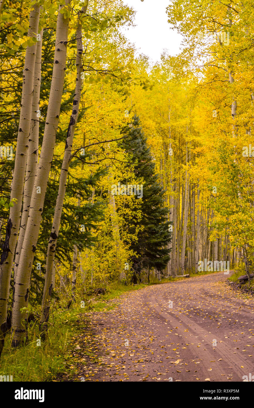 USA, Colorado, Gunnison National Forest. Road through forest. - Stock Image