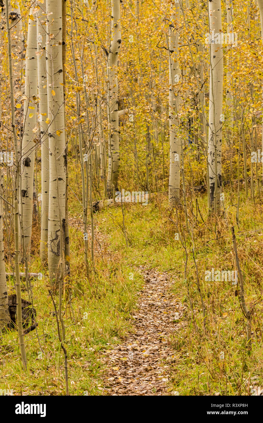 USA, Colorado, Gunnison National Forest. Trail among aspens. - Stock Image