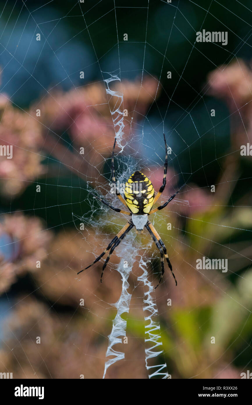 Black And Yellow Argiope Spider Argiope Aurantia Marion County Illinois Stock Photo Alamy