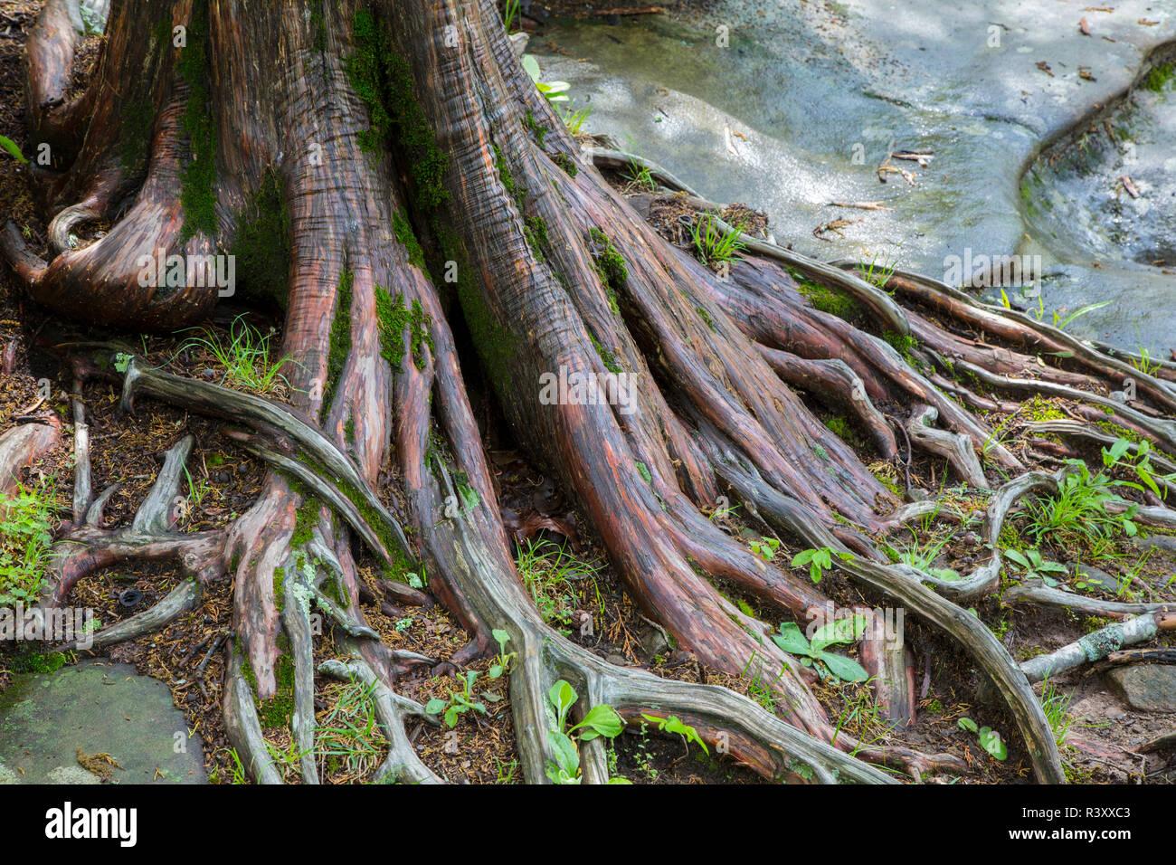 Red Cedar Tree (Juniperus virginiana) Garden of the Gods Recreation Area, Shawnee National Forest, Saline County, Illinois - Stock Image