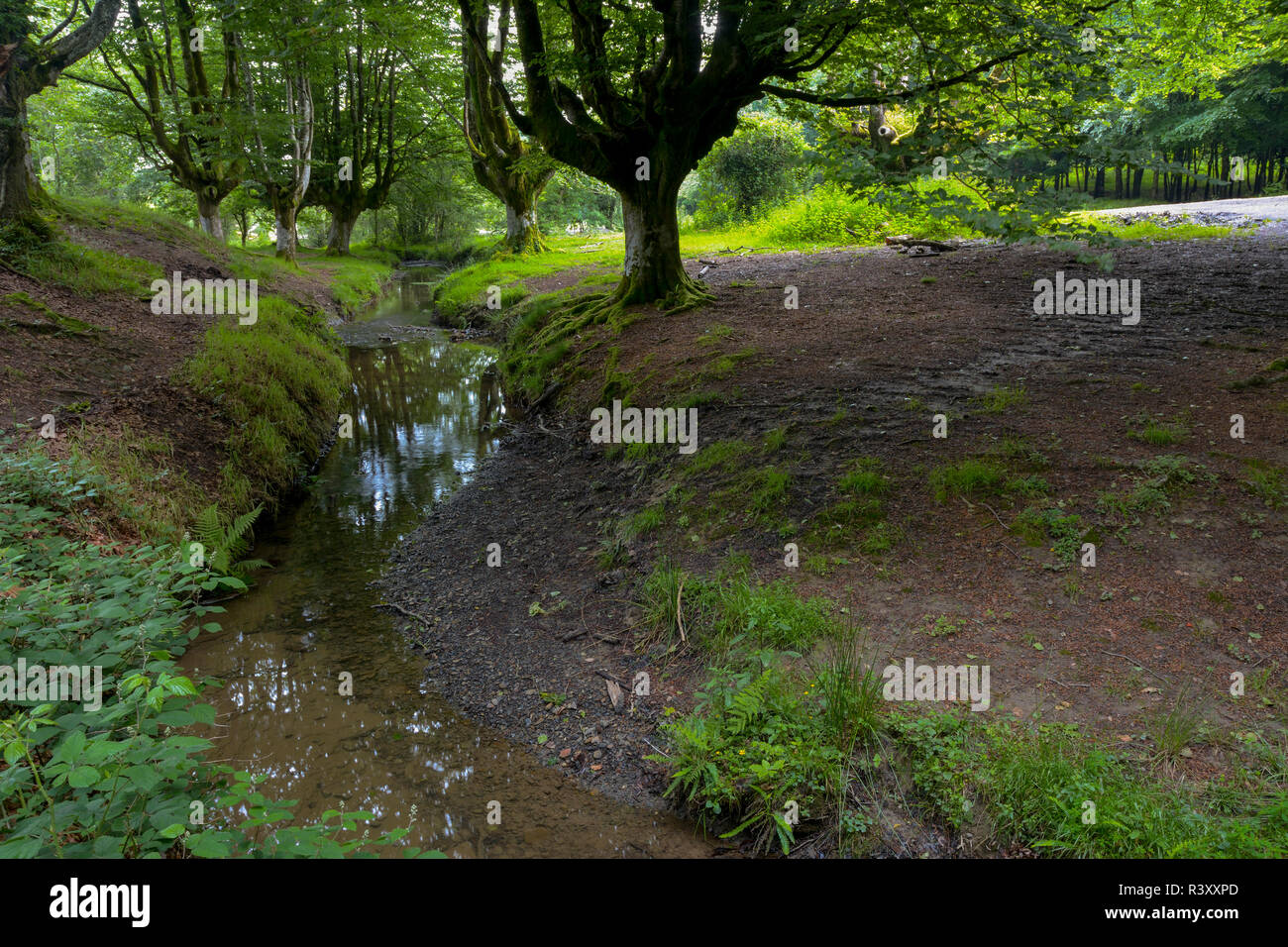 beech forest of otzarreta Stock Photo
