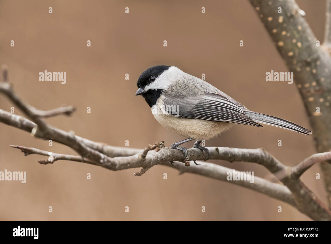 Carolina Chickadee in winter, Poecile carolinensis, Kentucky - Stock Image