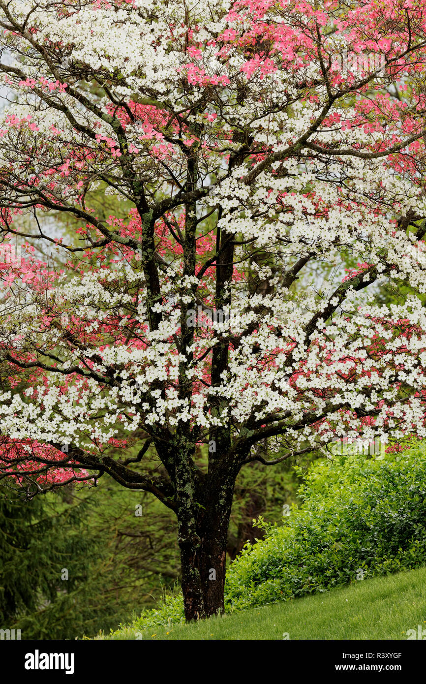 Pink And White Dogwood Trees In Full Bloom Kentucky Stock Photo