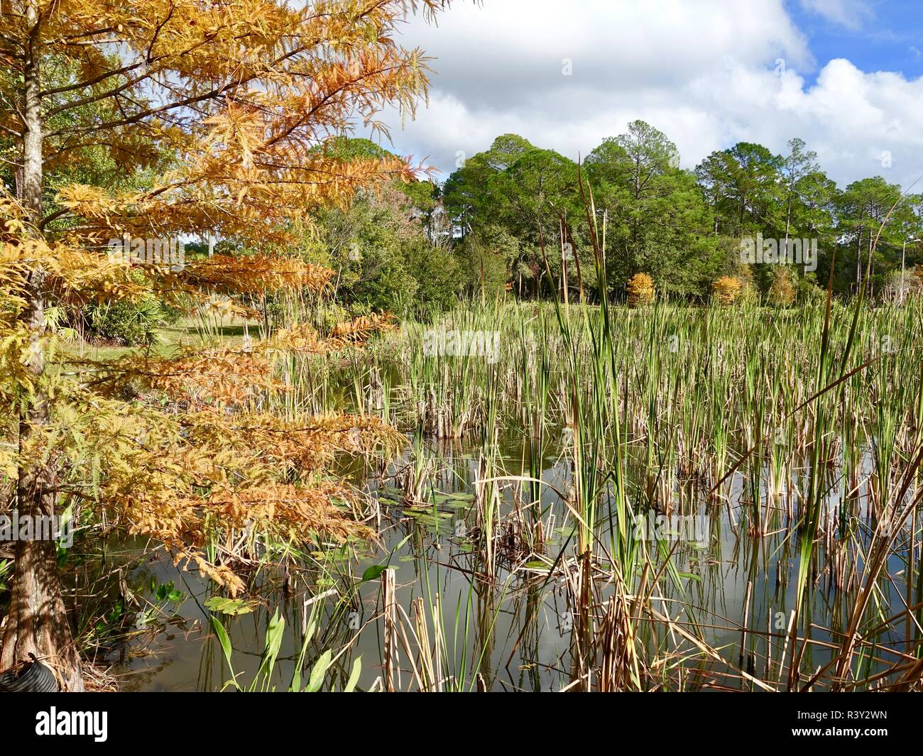 Looking past a colorful cypress tree across a retention pond on a partly cloudy day. Autumn in North Central Florida, USA. - Stock Image
