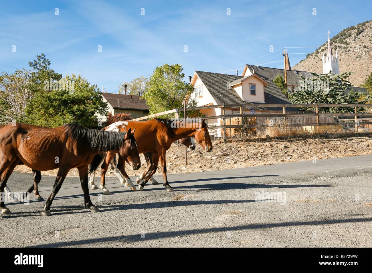 Wild horses roaming through town, Virginia City, Nevada, USA - Stock Image