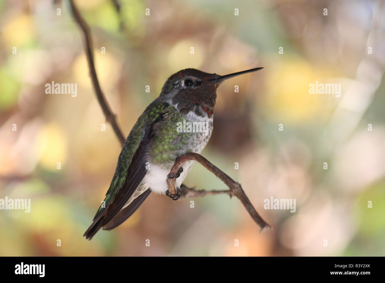 Ein Kolibrie auf einem Ast, Nahaufnahme - Stock Image