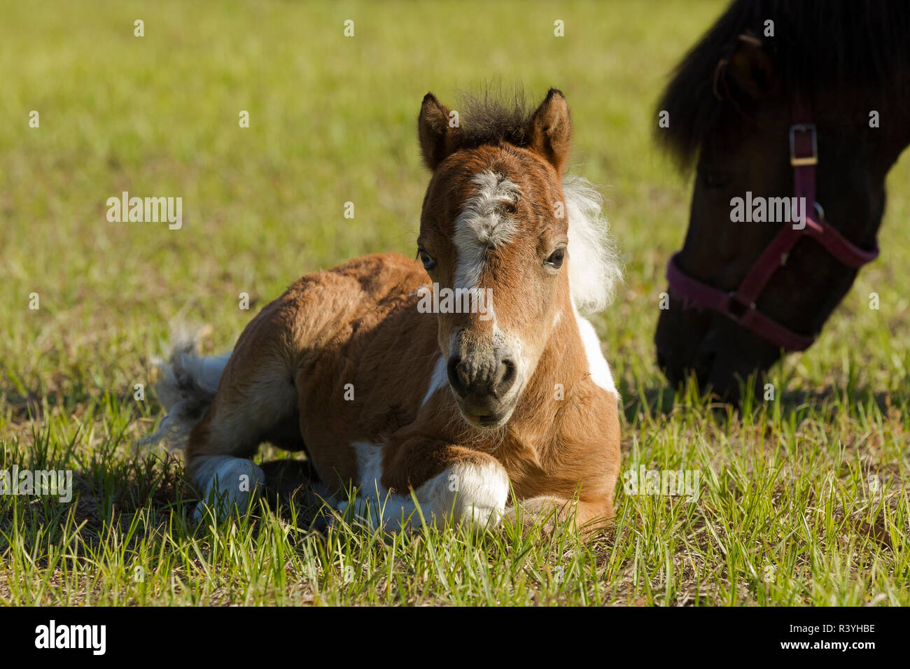 Baby Miniature Horse Paint Colt Stock Photo Alamy