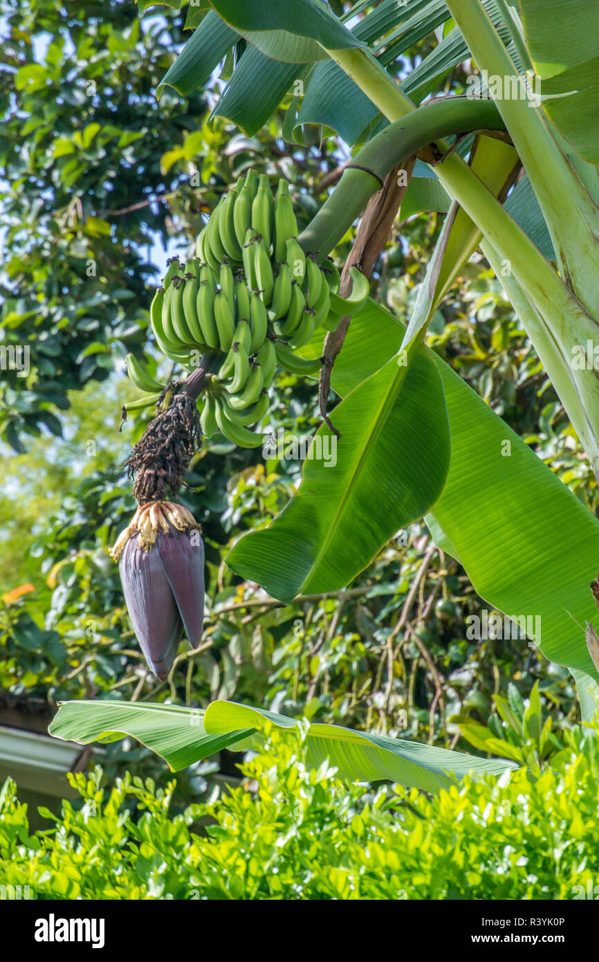 Hanalei, Hawaii, Kauai, green banana on tree Stock Photo