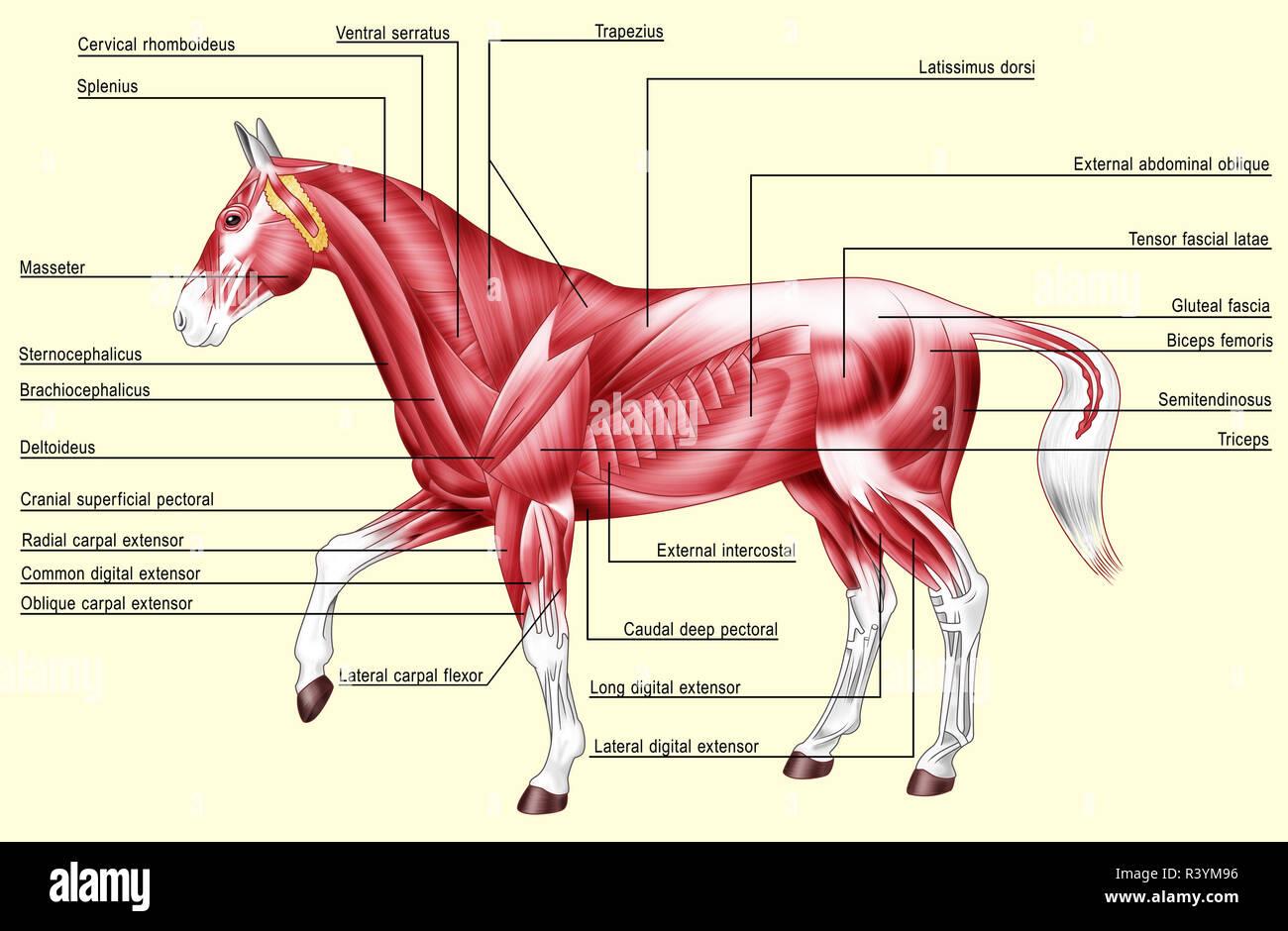 Horse Anatomy Muscles Stock Photo Alamy