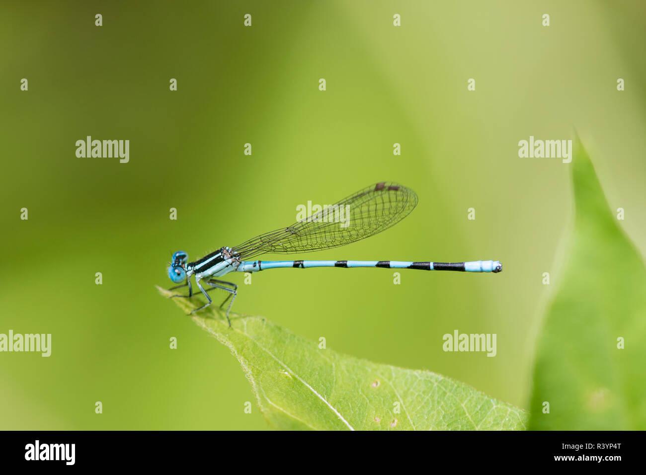 Seepage Dancer (Argia bipunctulata) male Bee Fork West Fen, Reynolds County, Missouri - Stock Image
