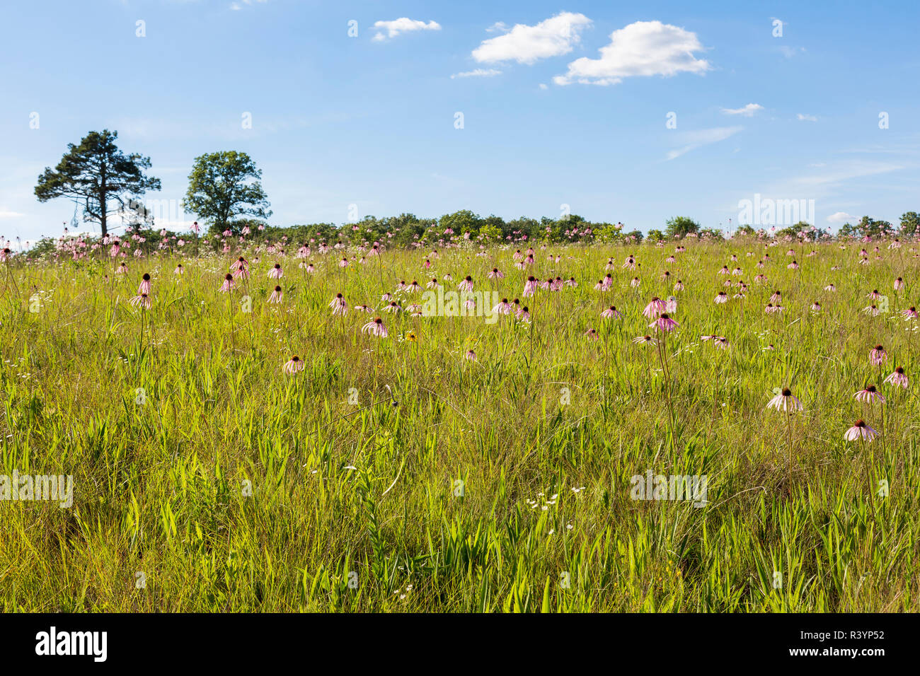 Pale Purple Coneflowers (Echinacea pallida) White River Trace Conservation Area, Dent County, Missouri - Stock Image