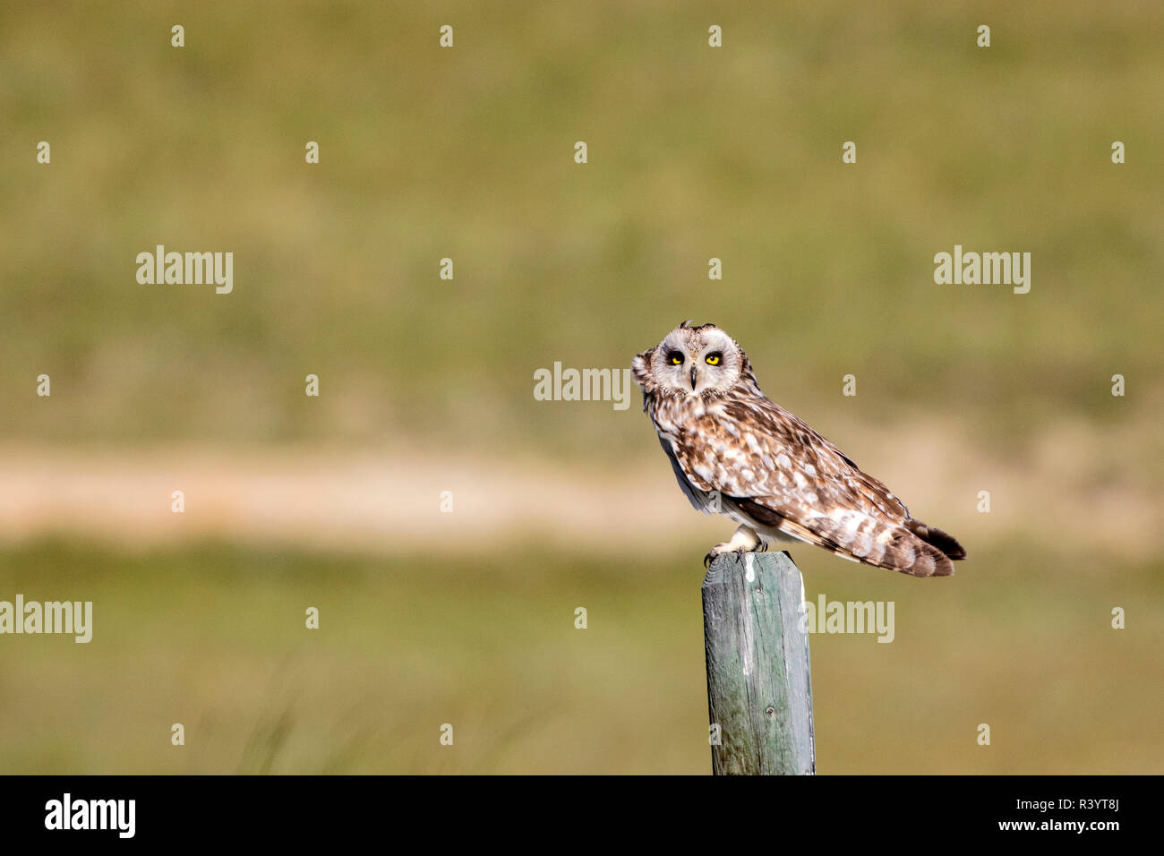 Short eared owl on fencepost near Wolf Creek, Montana, USA - Stock Image