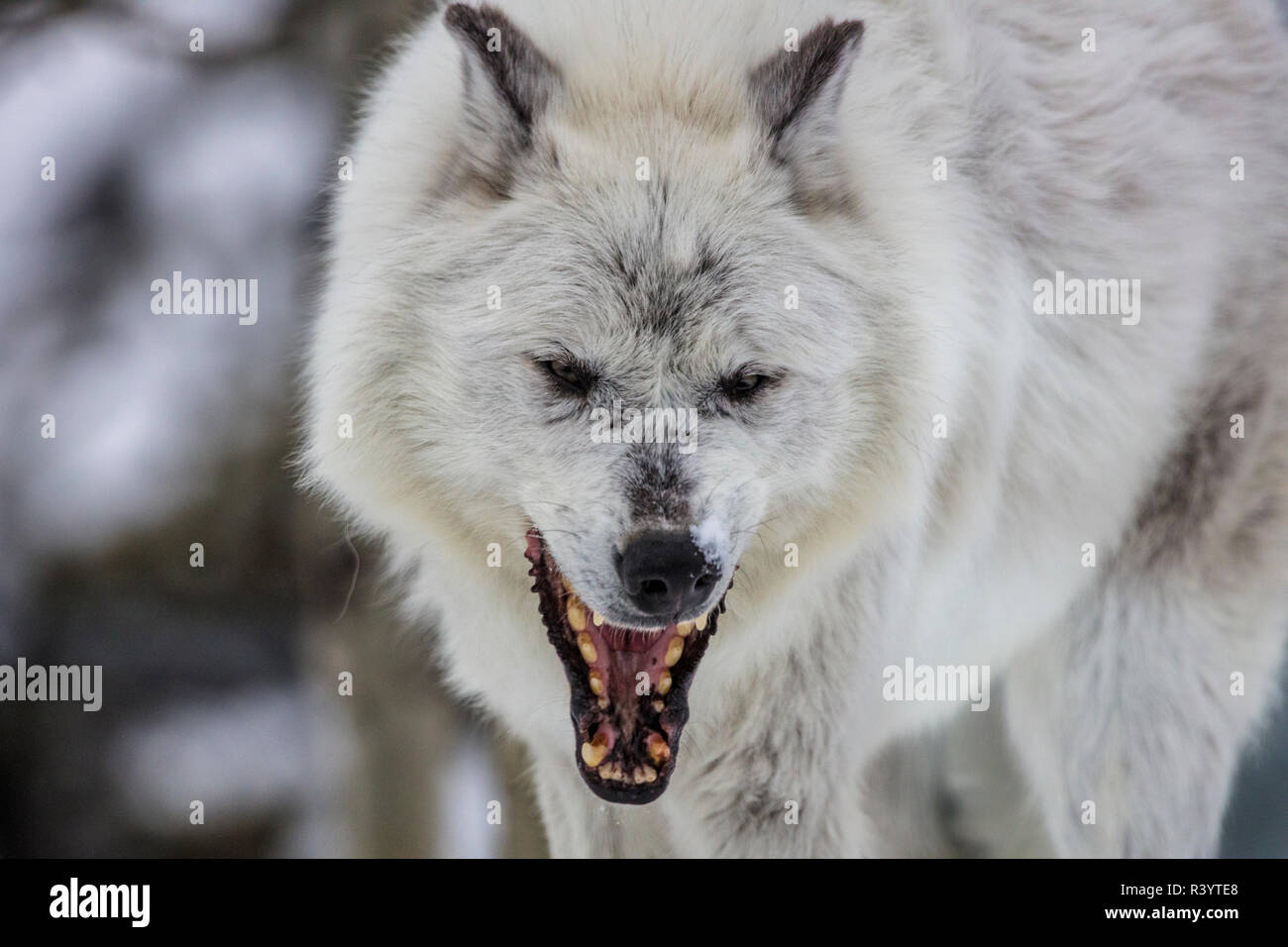 Captive gray wolf portrait at the Grizzly and Wolf Discovery Center in West Yellowstone, Montana, USA - Stock Image
