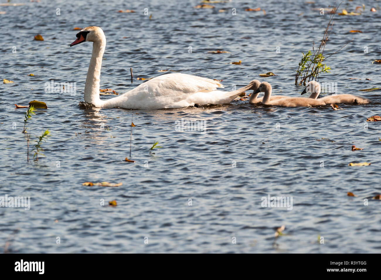 Adolescent swans following their mother Stock Photo