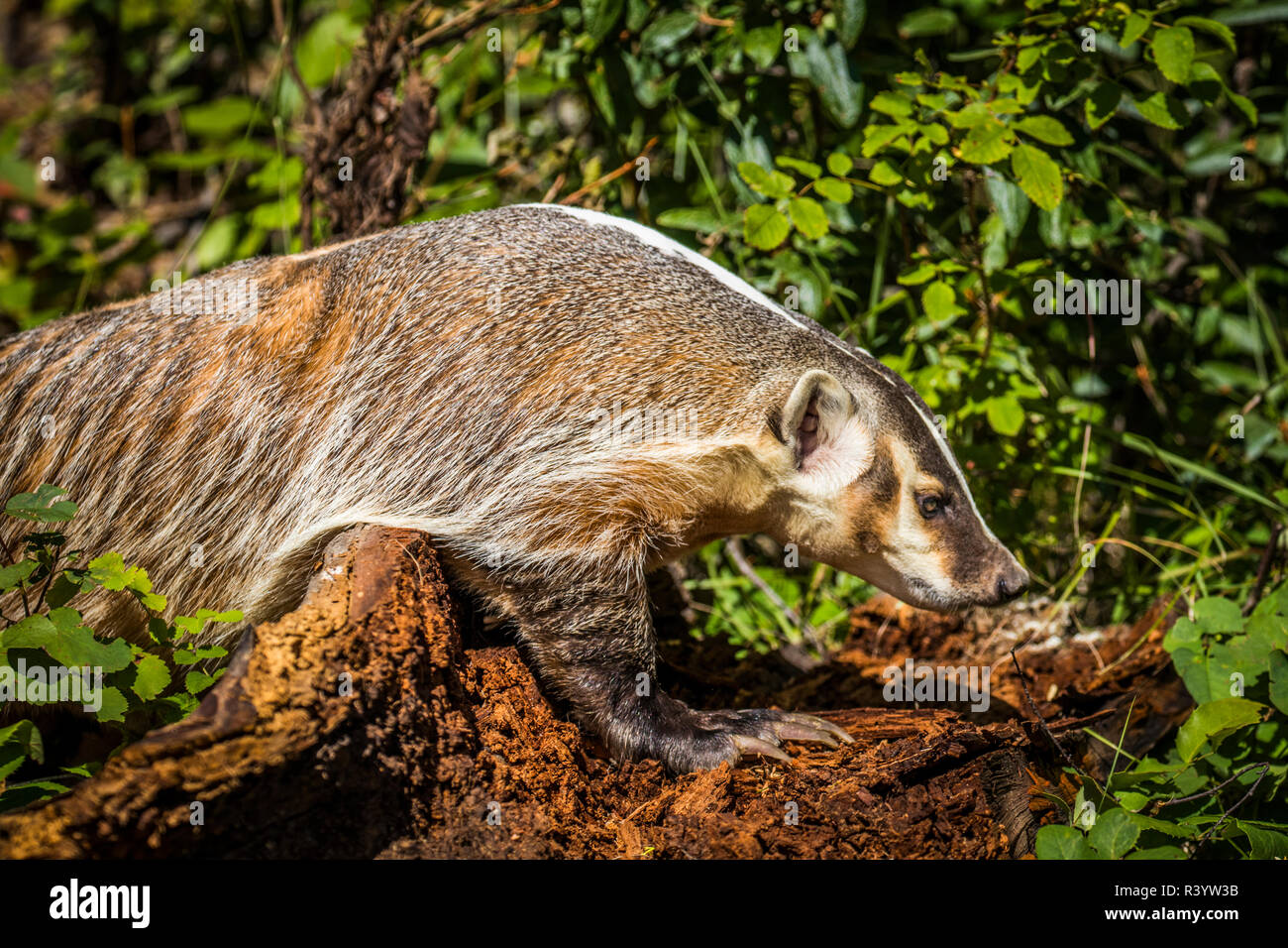 American Badger, Montana Stock Photo