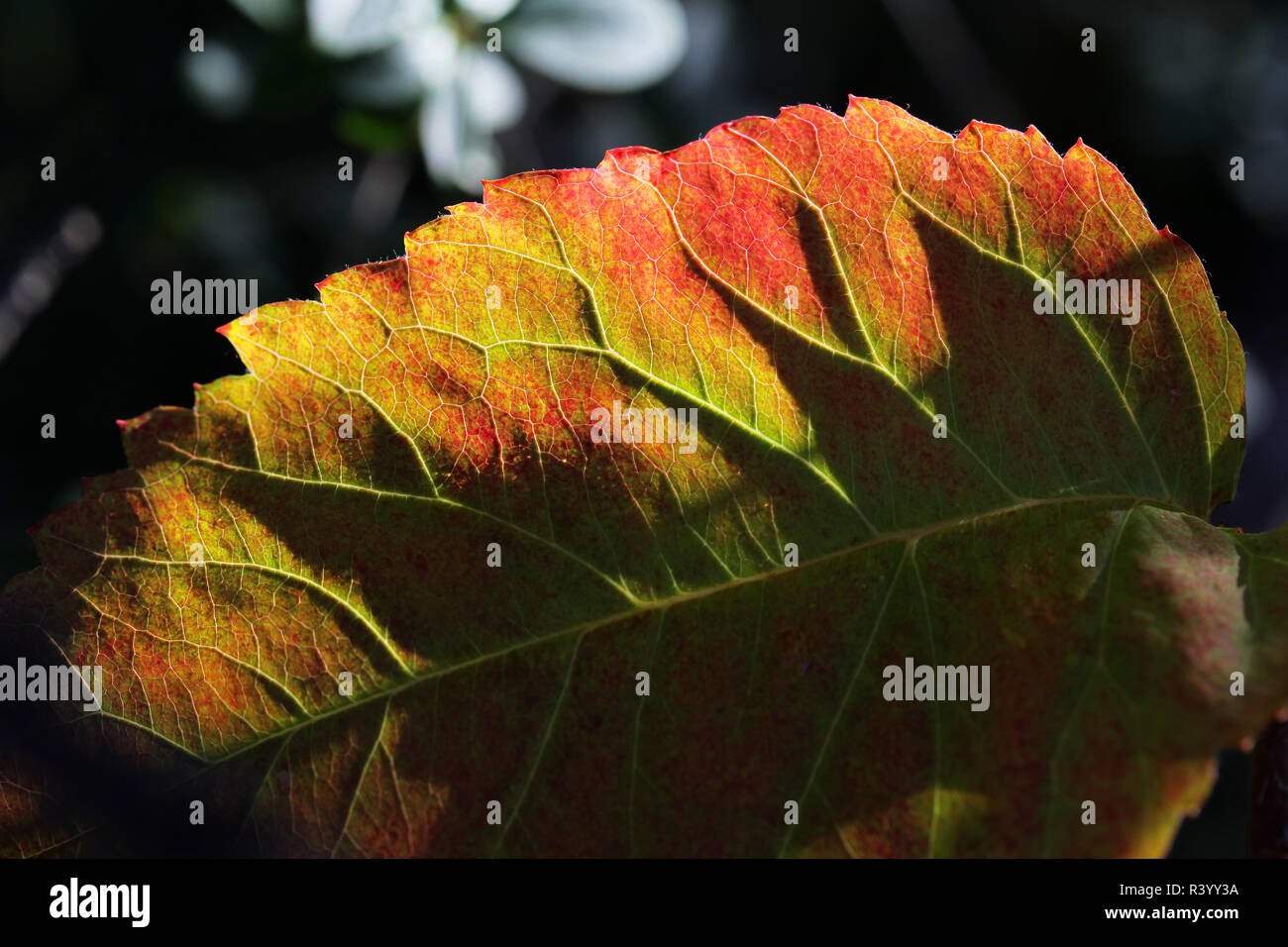 colourful autumn leaves in backlight Stock Photo