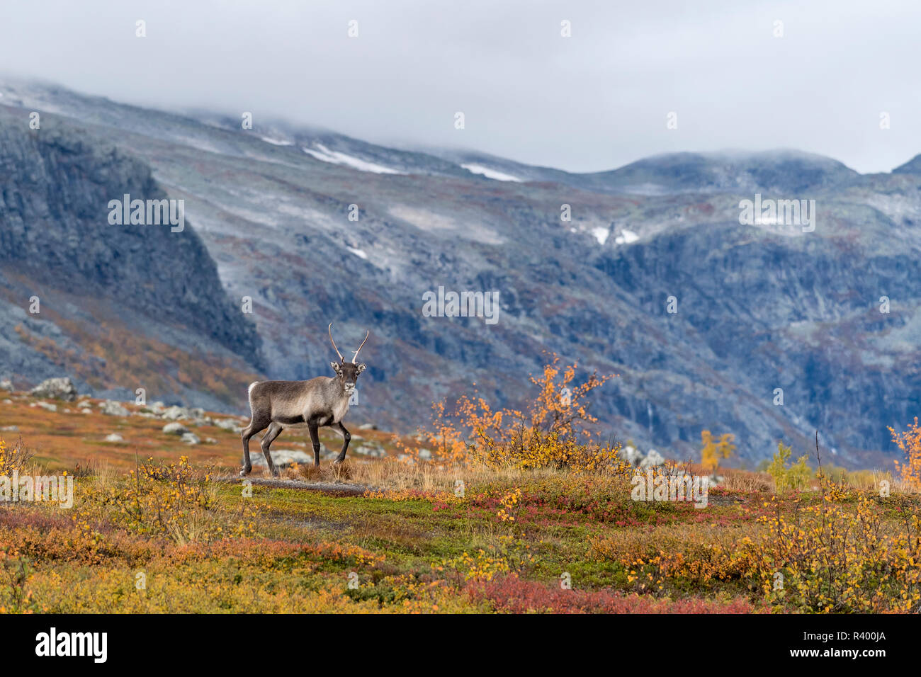 Reindeer (Rangifer tarandus) in autumnal mountain landscape, Stora Sjöfallet National Park, Laponia, Norrbotten, Lapland Stock Photo