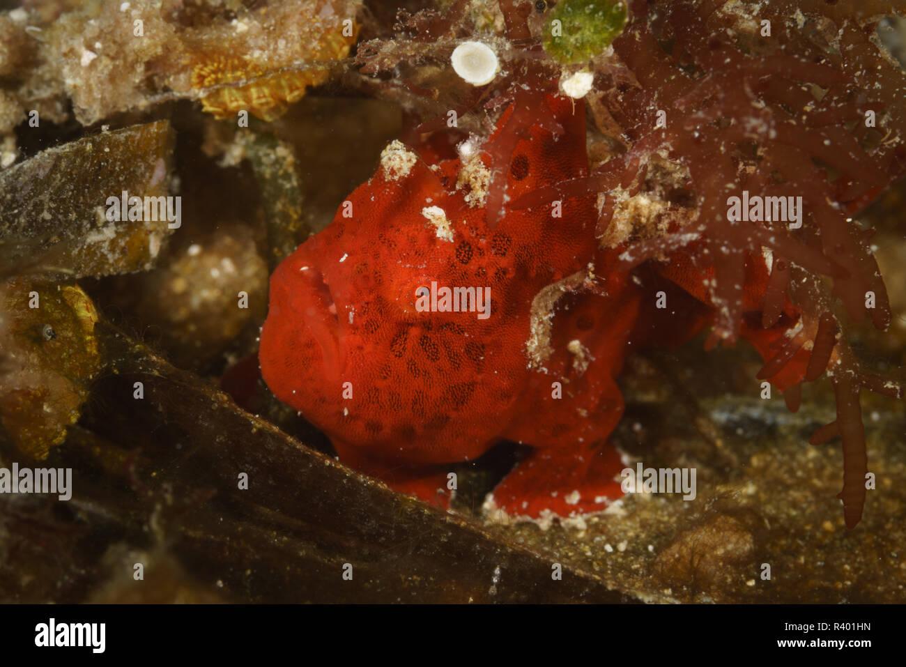 Tiny red frogfish at Mafia Island Marine Park, Tanzania - Stock Image