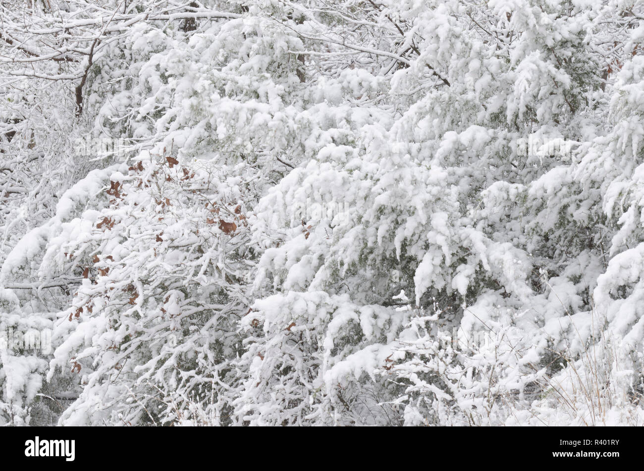 Eastern Red Cedar, Juniperus virginiana, and shrubbery with clinging heavy wet snow - Stock Image