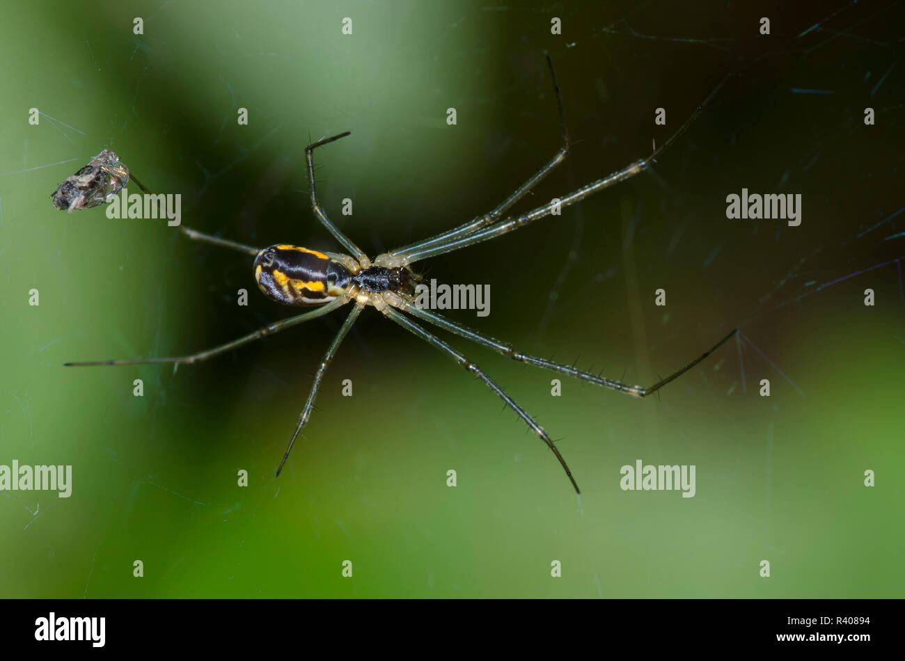 Sheetweb Spider, Subfamily Linyphiinae Stock Photo