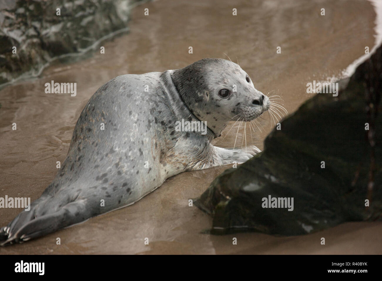 USA, Oregon, Bandon Beach. Lost harbor seal pup on beach. Credit as: Don Grall / Jaynes Gallery / DanitaDelimont. com - Stock Image