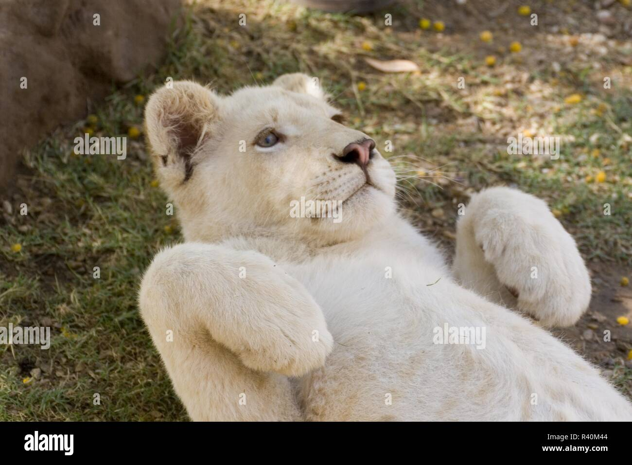White Lion cub, Cango Wildlife Ranch, South Africa - Stock Image