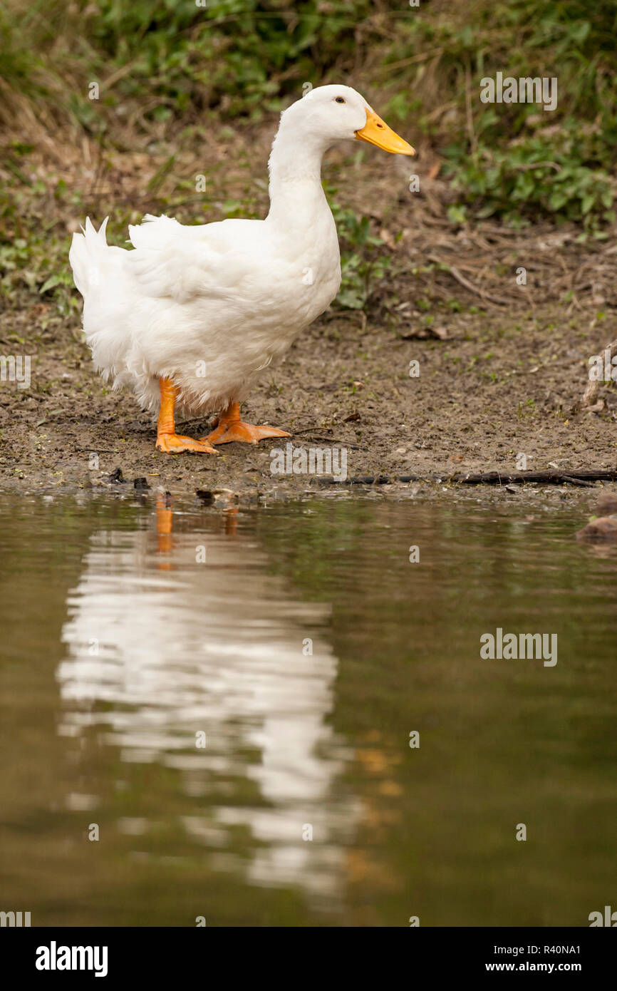 Houston, Texas, USA. Domestic Pekin or Long Island duck standing by the edge of a pond. - Stock Image