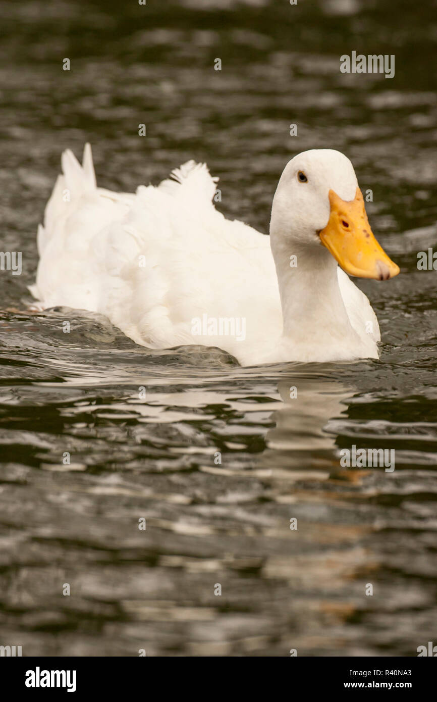 Houston, Texas, USA. Domestic Pekin or Long Island duck swimming in a pond. - Stock Image