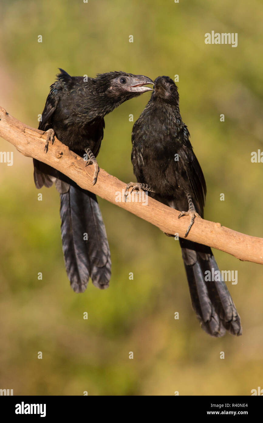 Groove-billed Anis (Crotophaga sulcirostris) gathering to drink - Stock Image