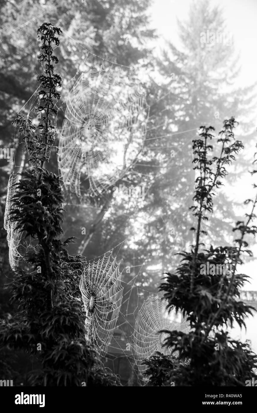 Bremerton, Washington State. Group of delicate, spider webs, hang on a tall shrub in the spooky fog - Stock Image