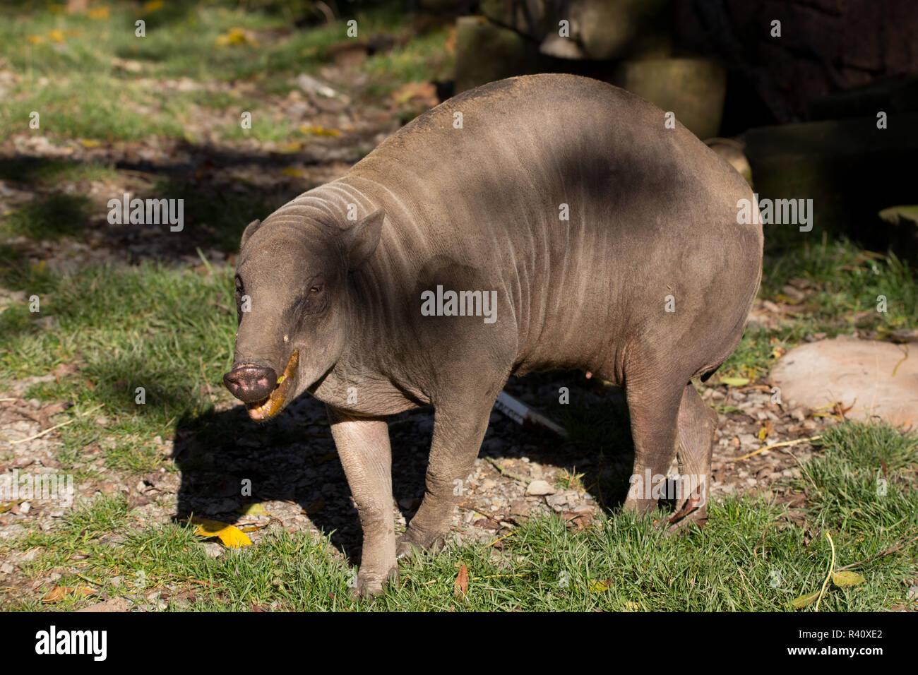 North Sulawesi babirusa - Stock Image