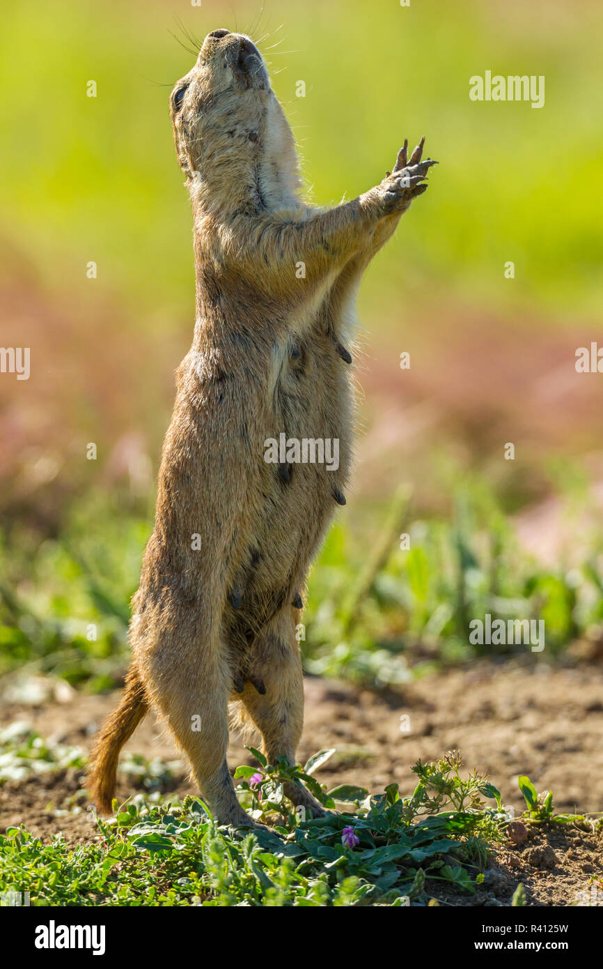 Prairie Dog Barking Stock Photos & Prairie Dog Barking Stock
