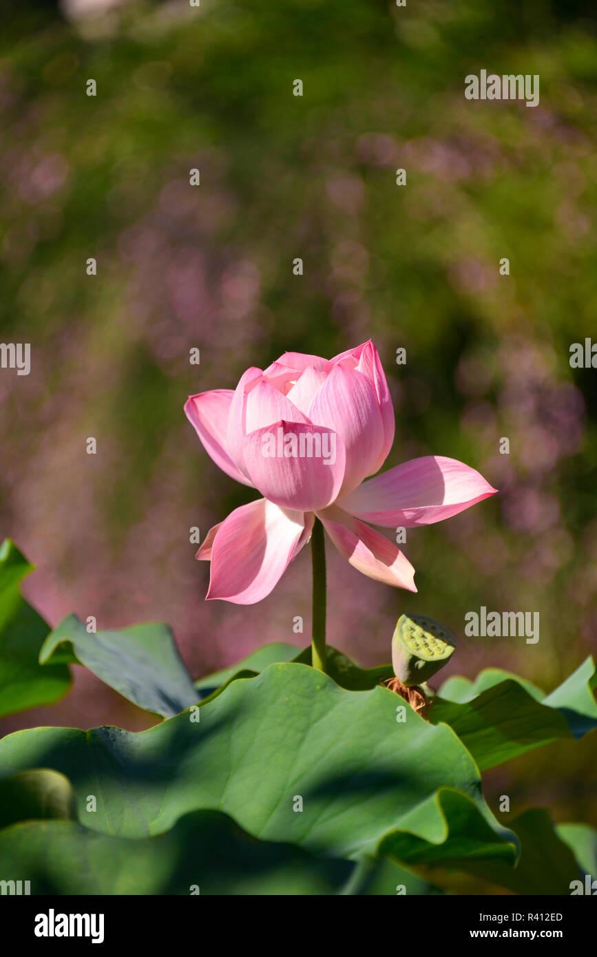 Usa Oregon Portland Lotus Flower In Lan Su Chinese Garden Credit