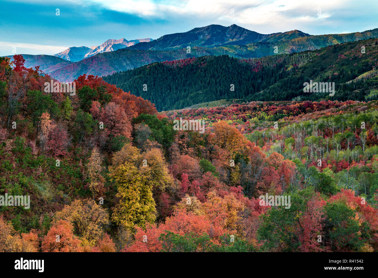 Brilliant Fall foliage near Midway and Heber Valley, Utah Stock Photo