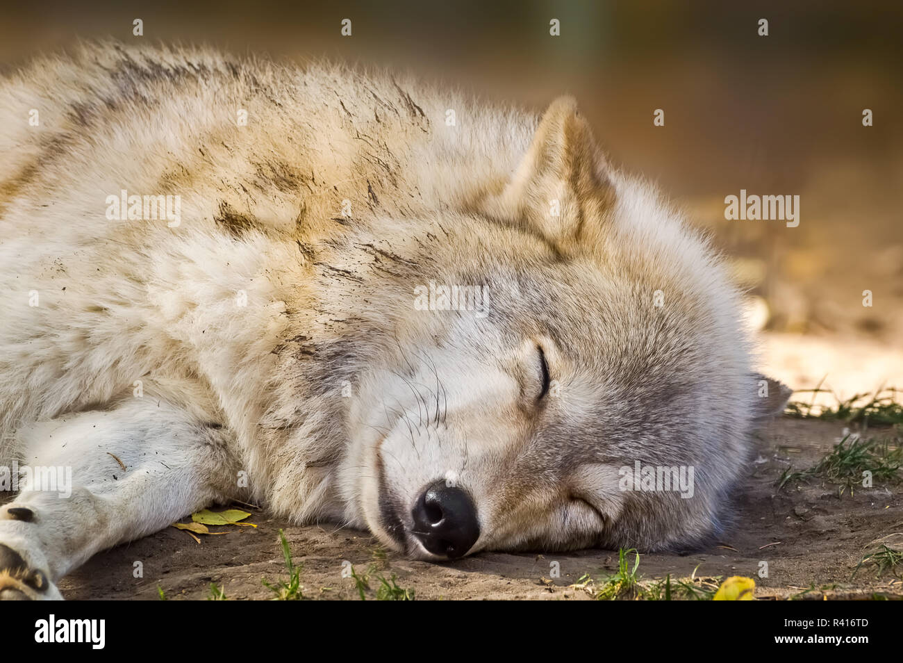 Grey Wolf Sleeping - Stock Image